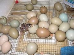 Pheasant eggs hatching - photo#7